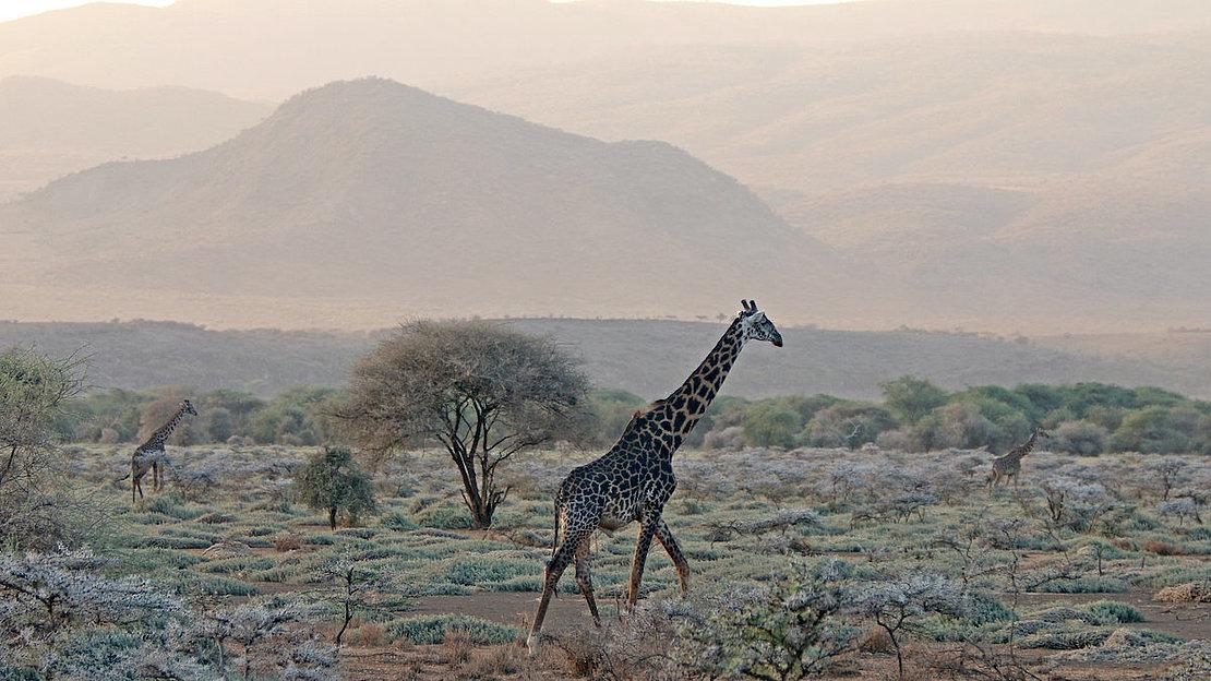 top_camps_giraffe